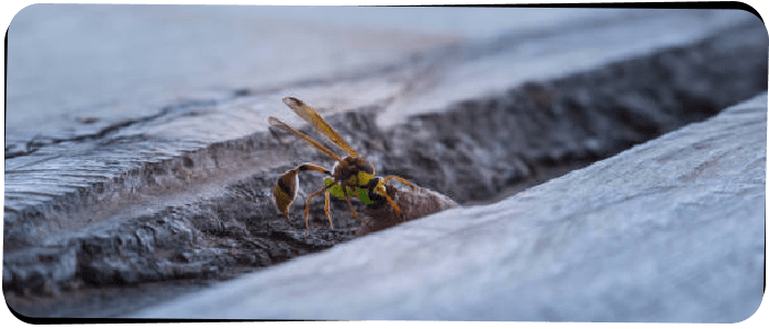 Wasp Removal Brisbane